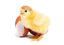 Cute yellow baby chick with egg Stock Photos