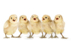 Cute Yellow Baby Chicks Lined Up Singing Stock Images