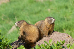 Cute Yellow-bellied Marmots Stock Photos