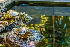 Cute yellow bellied slider turtle sitting on a rock at the water side, popular reptile pet from America. A cute yellow bellied slider turtle sitting on a rock at stock photos