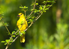 Cute yellow bird stock photography