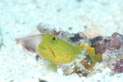 Cute yellow blue-spotted goby Royalty Free Stock Photography