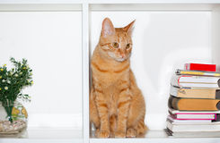 Cute yellow cat on shelf with books Stock Photo