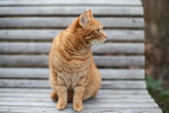 Cute yellow cat sitting on the chair Royalty Free Stock Photography