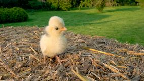 Cute yellow chick, baby Poland Chicken, sitting on a hay bale outside in golden summer sunshine. 4K Video clip of one cute yellow chick, baby Poland Chicken stock video footage