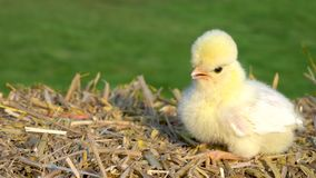 Cute yellow chick sitting on a hay bale outside in golden summer sunshine stock video footage