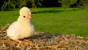 Cute yellow chick sitting on a hay bale outside in golden summer sunshine. 4K Video clip of one cute yellow chick, baby Poland Chicken, sitting on a hay bale stock video