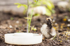 Cute Yellow Chicken Drinking Water Royalty Free Stock Photos