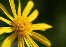 Cute yellow doronicum flower macro shot Stock Photography