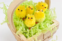 Cute yellow Easter chicks in a basket. Royalty Free Stock Image