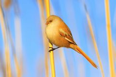 Cute yellow fluffy bird sits on a reed royalty free stock photography