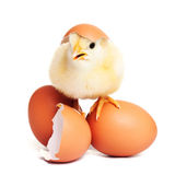 Cute yellow fluffy chick with eggs Royalty Free Stock Image