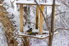 Great Tit Parus major in snowy forest royalty free stock images