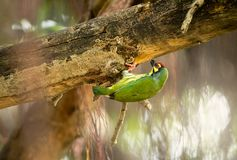 Cute yellow green bird, Coppersmith barbet prepare platform for nesting hole royalty free stock image