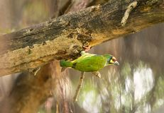 Cute yellow green bird, Coppersmith barbet prepare platform for nesting hole royalty free stock photos