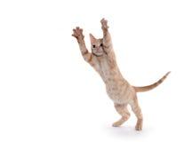 Cute yellow kitten playing Royalty Free Stock Photos