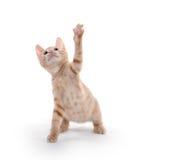 Cute yellow kitten playing Stock Image