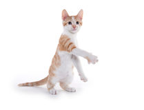 Cute yellow kitten playing Royalty Free Stock Photography