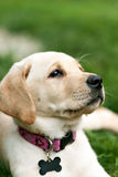 Cute Yellow Lab Puppy Stock Image