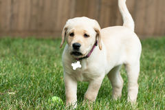 Cute Yellow Lab Puppy Royalty Free Stock Photo