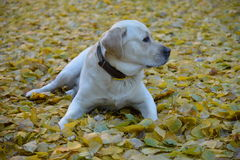 Cute yellow labrador dog Stock Photography