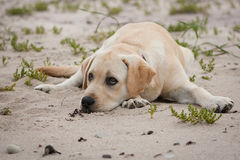 Cute yellow labrador puppy Stock Images