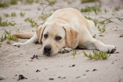 Cute yellow labrador puppy Stock Photos