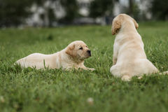 Cute yellow Labrador puppy lying and looking to his brother. Cute yellow Labrador puppy lying and looking at his brother Royalty Free Stock Images