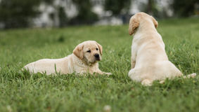 Cute yellow Labrador puppy lying and looking to his brother. Cute yellow Labrador puppy lying and looking at his brother Stock Images