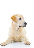 Cute yellow labrador retriever looking to side Stock Photography