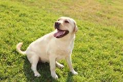 Cute yellow labrador retriever outdoors royalty free stock photo