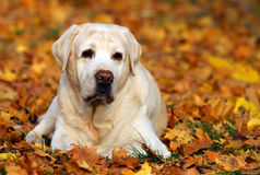 Cute yellow labrador retriever in the park in autumn Royalty Free Stock Image