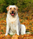 A cute yellow labrador retriever in the park in autumn Stock Image