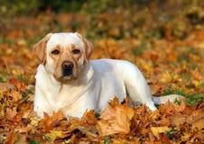 Cute yellow labrador retriever in the park in autumn Stock Photos