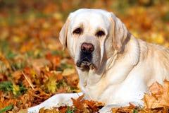 A cute yellow labrador retriever in the park in autumn Stock Photography
