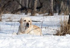 Cute yellow labrador in winter in snow portrait Royalty Free Stock Photo