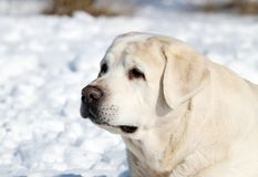 The cute yellow labrador in winter in snow portrait Stock Photo