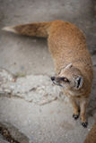 Cute yellow mongoose. On guard Stock Image