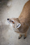Cute yellow mongoose. On guard Royalty Free Stock Images