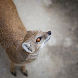 Cute yellow mongoose. On guard Stock Photo