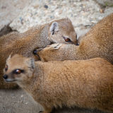 Cute yellow mongoose Stock Photography