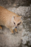 Cute yellow mongoose. On guard Royalty Free Stock Photography