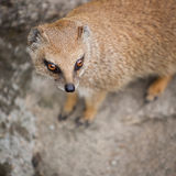 Cute yellow mongoose Stock Photo