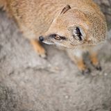 Cute yellow mongoose. On guard Stock Images