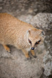 Cute yellow mongoose. On guard Royalty Free Stock Photo