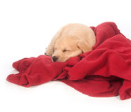 Cute yellow puppy sleeping with red blanket Royalty Free Stock Photos