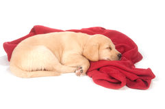 Cute yellow puppy sleeping with red blanket Stock Photography
