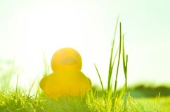 Cute yellow rubber duck on field of grass and sun in morning Stock Photo
