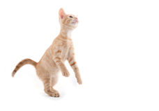 Cute kitten playing on white background. Cute yellow tabby baby kitten playing on white background royalty free stock photography