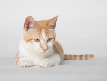 Cute yellow tabby cat on white Royalty Free Stock Images